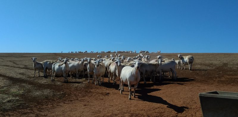 Ewes maintain condition following 2 dry years 2019