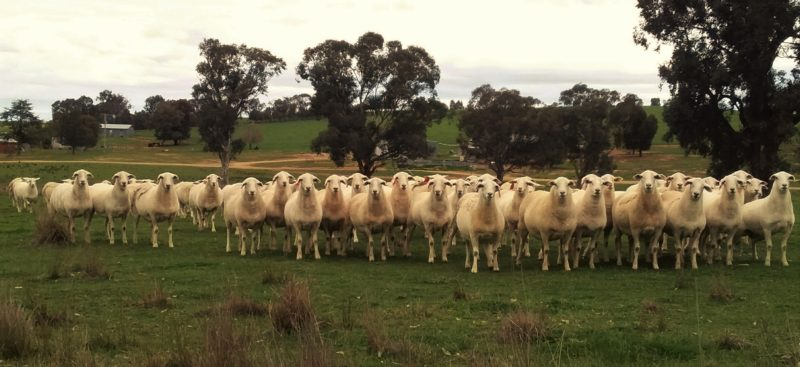 Maiden ewes 12-14 mths, on the point of lambing