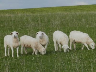 Kalnari Australian White Sheep Stud