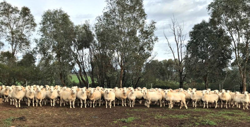 Twin-bearing ewes June 2019